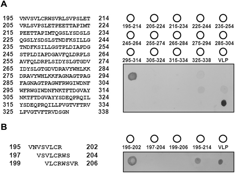 Epitope identification through dot-blotting with synthetic peptides. (A) Left: sequences of the 20-mer synthetic peptides from 195 to 338 aa; each peptide had a 10-mer amino acid overlap with the following peptide. Right: schematic of the peptide array on the PVDF membrane. Virus-like particle (VLP, 1–338 aa) was used as a positive control. Dot-blotting of the 20-mer peptide was performed using RG-M18 mAB. (B) Fine mapping of 8-mer synthetic peptides from 195–206 aa (left). All the assays were performed in triplicate (right).