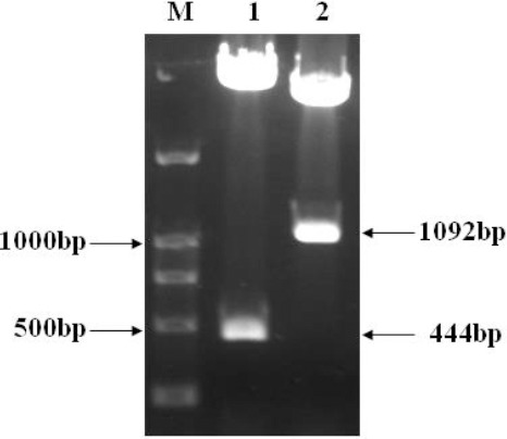 Digestion Identification of pcDNA3.1(-)/myc-His A-HBVDNAPTP1. DNA Marker DL2,000 (lane M). pcDNA3.1(-)/myc-His A-HBVDNAPTP1 Digested by BamH I and Hind III (lane 1). pcDNA3.1(-)/myc-His A-HBVDNAPTP1 Digested by Bgl II (lane 2)