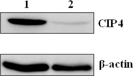 Western blot analysis of CIP4 expression in THP-1 cells. THP-1 cells transfected with pcDNA3.1(-)/myc-His A (lane 1). THP-1 cells transfected with pcDNA3.1(-)/myc-His A-HBVDNAPTP1 (lane 2)