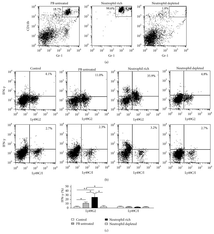 Enrichment and depletion of neutrophils affect licensing effect of NK cells. B10.D2 PB was enriched or depleted of CD11b + Gr-1 + neutrophils by magnet beads negative selection (a). Forty Gy-irradiated 2 × 10 6 PBMCs or neutrophil-enriched/depleted cells were injected intraperitoneally into B10 mice. Two days after injection, PBMCs of recipient B10 mice were analyzed by flow cytometry. Representative dot plot analysis showed intracellular IFN- γ expressions gated on DX5 + CD3 − Ly49G2 + NK cells ((b), upper panel) and DX5 + CD3 − Ly49C/I + NK cells ((b), lower panel) in uninjected B10 PBMCs (control), B10 PBMCs injected by B10.D2 PBMCs (PB untreated), B10.D2 PBMCs enriched neutrophils (neutrophil rich), and B10.D2 PBMCs depleted of neutrophils (neutrophil depleted). The comparison of IFN- γ expression of DX5 + CD3 − Ly49G2 + NK cells and DX5 + CD3 − Ly49C/I + NK cells in control ( n = 6), PB untreated ( n = 9), neutrophil rich ( n = 4), and neutrophil depleted ( n = 4) was depicted (c). Data are expressed as the means ± SD. ∗ P