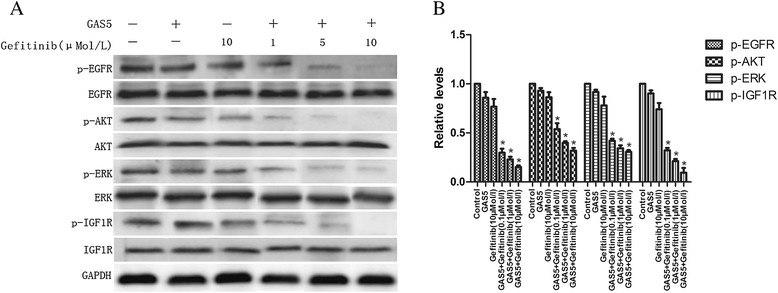 Effect of GAS5 and gefitinib on the activity of the EGFR/PI3K/AKT pathway and IGF-1R in A549 cells. (A) Significant suppression of EGFR and downstream signaling molecules are seen following co-treatment with GAS5 and gefitinib. Dose-dependent downregulation of IGF-1R protein was also seen. (B) Relative levels of P-EGFR, P-AKT, P-ERK and P-IGF-1R proteins expression in six groups. The data represent the mean ± SD from three independent experiments. * P