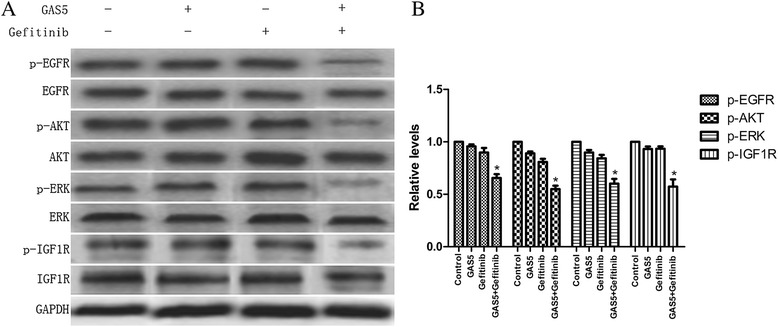 Effect of GAS5 and gefitinib on the activity of the EGFR/PI3K/AKT pathway and IGF-1R in vivo . (A) Significant suppression of EGFR, downstream signaling molecules, and IGF-1R are seen following co-treatment with GAS5 and gefitinib. (B) Relative levels of P-EGFR, P-AKT, P-ERK, and P-IGF-1R proteins expression in four groups. The data represent the mean ± SD from three independent experiments. * P