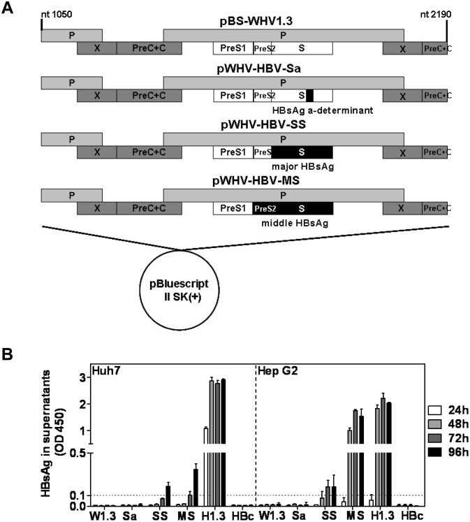 Constructions of recombinant WHV-HBV genomes and transient transfection of recombinant WHV-HBV genomes in hepatoma cells. (A) The schematic map of recombinant WHV-HBV genomes. pBS-WHV1.3 contained a 1.3 fold overlength WHV genome in <t>pBluescript</t> II SK(+) vector and was used as backbone. The respective WHV genome regions were replaced by the corresponding HBV sequences, shown as black bars. The plasmids pWHV-HBV-Sa, pWHV-HBV-SS, and pWHV-HBV-MS contained HBV sequences encoding HBsAg a-determinant only, major HBsAg and middle HBsAg, respectively. (B) HBsAg expression in the supernatant of the transfected hepatoma cells. Huh7 and HepG2 cells were transiently transfected with plasmids of pBS-WHV1.3 (W1.3), pWHV-HBV-Sa (Sa), pWHV-HBV-SS (SS), pWHV-HBV-MS (MS), pBS-HBV1.3 (H1.3), and pHBc (HBc). The culture supernatants were collected at 24, 48, 72, and 96 hours after transfection for the detection of HBsAg by ELISA. The results were read at OD 450 nm. The cut off value was set as 0.1 and indicated by the dotted line.