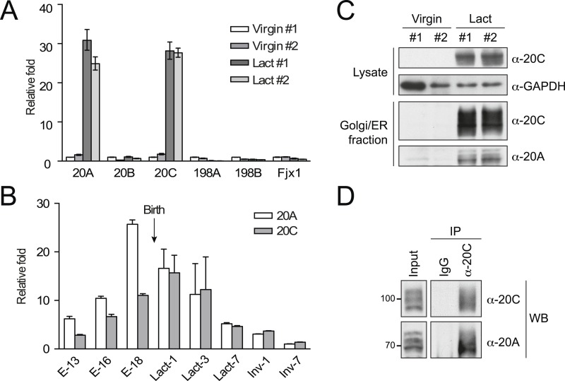 Upregulation and complex formation of Fam20A and Fam20C in the lactating mammary gland. ( A ) mRNA levels of Fam20C family members in the mouse mammary gland. The mammary glands from two non-lactating (Virgin) and two 10-day lactating (Lact) mice were isolated and the mRNA levels of Fam20 family members were determined by quantitative (q)RT-PCR. Data are represented as mean ± SD. ( B ) mRNA levels of Fam20A and Fam20C in the mammary glands of pregnant/lactating female mice at different stages. E−13, 16 or 18: embryonic day 13, 16 or 18; Lact-1, 3 or 7: 1, 3 or 7 days after lactation; Inv-1 or 7: 1 or 7 days after involution. The gestation period of mouse is 18–21 days. mRNA levels of Fam20A and Fam20C were determined by qRT-PCR. Data are represented as mean ± SD. ( C ) Protein levels of Fam20A and Fam20C in the mouse mammary glands. Endogenous Fam20A or Fam20C were detected from whole mammary gland lysate or the Golgi/ER-enriched fractions by western blot. ( D ) Co-immunoprecipitation of endogenous Fam20A and Fam20C from Golgi/ER-enriched fractions of the mouse lactating mammary gland. Polyclonal rabbit anti-Fam20C antibody was used for immunoprecipitating endogenous Fam20C. Normal rabbit IgG was used as control for immunoprecipitation. DOI: http://dx.doi.org/10.7554/eLife.06120.017