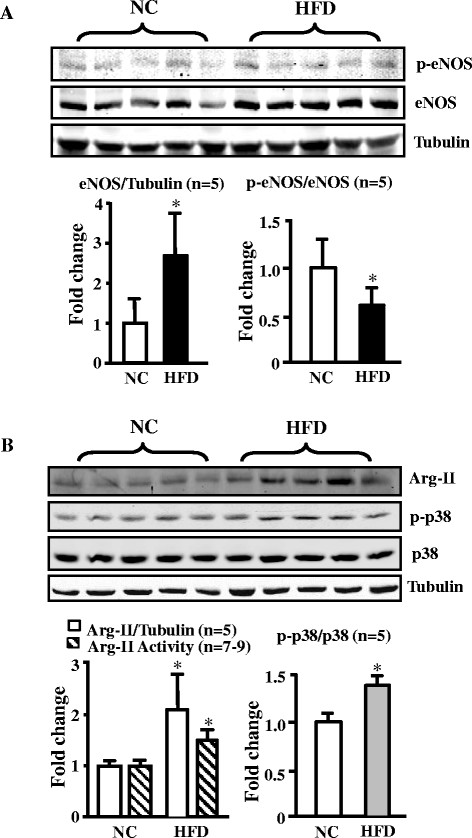 HFD feeding enhances eNOS, Arg-II expression/activity, and p38mapk activation in mouse aortas. (A) Immunoblotting analysis of eNOS total protein and eNOS-S1177 (p-eNOS) levels (n = 5). (B) Immunoblotting analysis of Arg-II (Arg-I not detectable, tubulin served as loading control), p38mapk activation, i.e., Thr180/Tyr182-phosphorylated p38mapk (p-p38mapk) and total p38mapk in the aortas of WT mice fed NC or HFD (n = 5), and arginase activity assay (n = 7-9). *p
