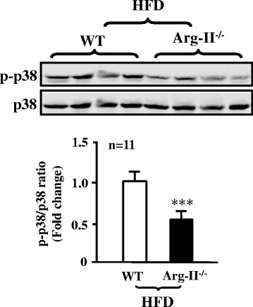 Decreased p38mapk activation in aortas of obese Arg-II -/- mouse. Immunoblotting analysis of the Thr180/Tyr182 phosphorylated p38mapk (p-p38mapk) and total p38mapk in aortas of WT and Arg-II -/- mice fed HFD. n = 11, ***p