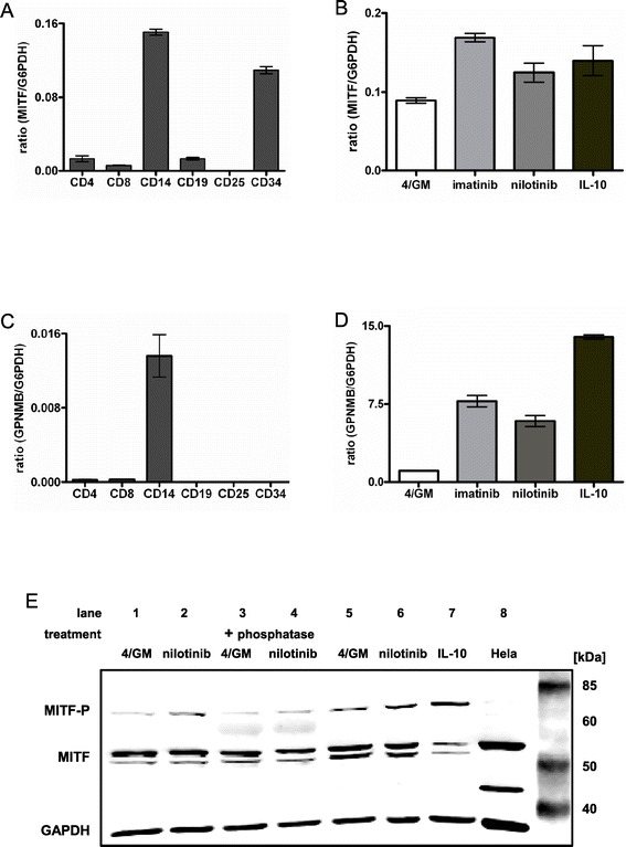 """The transcription factor MITF is expressed in progenitor cells, leucocytes and primary moDC. Immature moDC were generated in vitro with GM-CSF and IL-4 alone (4/GM) or with additional TKI (3 μM imatinib or 3 μM nilotinib) or IL-10 (10 ng/mL). For the analysis of CD34 + progenitor and blood cells, cell-type specific total RNA was used. qRT-PCR analysis: (A, B) relative level of MITF and (C, D) GPNMB mRNA. The mean (±SD) of duplicate measurements is shown. (E) MITF protein level and phosphorylation status was analyzed by western blotting in two different donors (lanes 1–4 and lanes 5–7, respectively). Phosphorylated MITF was detected by mobility shift (slower migrating band at 70 kDa). Western blotting revealed an additional, slower migrating band that supposedly represents the phosphorylated protein of higher molecular weight of approximately 70 kDa. """"+ phosphatase"""": cell lysates were incubated with phosphatase. GAPDH served as loading control. Exemplary results from at least three independent experiments using different donors are presented."""