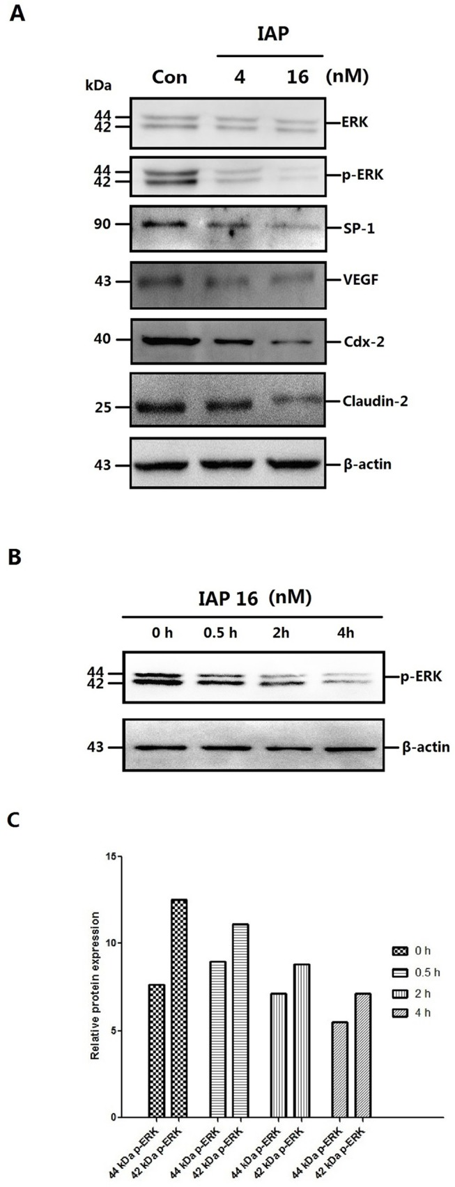 Changes in protein expression and the time course of the changes in the ERK phosphorylation in Caco-2 cells pretreated with IAP. A: Caco-2 cells were treated with increasing concentrations of IAP for 48 h (0, 4, 16 mIU). Whole-cell protein were extracted and subjected to Western blotting. Primary antibodies of ERK, p-ERK, SP-1, VEGF, Cdx-2 or Claudin-2 were used for the blotting assays. β-Actin immunoblotting was performed as an internal loading control. B: Caco-2 cells were treated with 16 mIU IAP for varying lengths of time (0, 0.5, 2 or 4 h). Upper figure, levels of phosphorylated ERK detected by Western blotting. C: The quantification of ERK and p-ERK Western blotting data of the dose-cause; blots were analyzed using the Image J software. D: The quantification of other proteins Western blotting data of the dose-cause; blots were analyzed using the Image J software. E: The quantification of ERK and p-ERK Western blotting data of the time-cause; blots were analyzed using the Image J software.