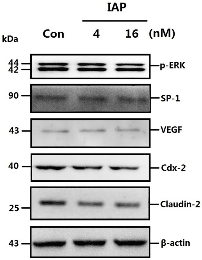 ERK phosphorylation levels and expression of related proteins following treatment with a phosphatase inhibitor in Caco-2 cells pretreated with IAP. A: Caco-2 cells were treated with varying concentrations of IAP and sodium orthovanadate. Fresh protein samples were extracted from pretreated Caco-2 cells and were subsequently processed for Western blotting assays. Caco-2 cells were treated with increasing concentrations of IAP for 24 h (0, 4, 16 mIU) and with 15mM sodium orthovanadate. Whole-cell proteins were extracted and subjected to Western blotting. Primary antibodies of p-ERK, SP-1, VEGF, Cdx-2 or Claudin-2 were used for the blotting assays. β-actin immunoblotting was performed as an internal loading control. B: The quantification of the proteins Western blotting data; blots were analyzed using the Image J software.