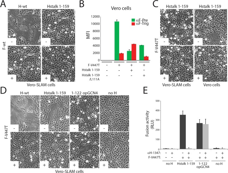 Inhibition of headless H/F-mediated membrane fusion by mAb αH-1347. (A, C and D) Syncytium formation assay. Cell-to-cell fusion activity in Vero or Vero-cSLAM cells triggered by co-expression of CDV H-wt or headless H variants with CDV F-wt or CDV F-V447T (A75/17 strain) [ 62 ] in the presence (+) of absence of mAb αH-1347 (-). Representative fields of view of cell-cell fusion induced 24h post-transfection are shown. (B) F-triggering assay. The CDV F-V447T mutant was expressed in Vero cells together with the indicated Hstalk variants. One day post-transfection, the conformation of the FLAG-tagged F-V447T mutant was monitored by probing its reactivity with an anti-F prefusion-specific mAb (4941; green histograms), triggered-specific mAb (3633; red histograms) [ 61 , 63 ]. Secondary antibodies were added at 4°C, and to record quantitative values, mean fluorescence intensities were monitored by flow cytometry. (E) Quantitative fusion assays were performed as described in the legend of Fig 1B in the presence (light grey histograms) or absence (dark grey histograms) of mAb αH-1347. Means ± S.D. of data from three independent experiments performed in duplicates are shown.