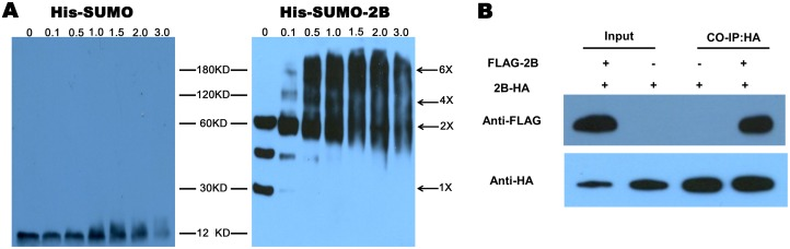 The pore-forming activity of the 2B protein. (A) Purified Sumo-2B protein was incubated with a glutaraldehyde cross-linker at the indicated concentrations (0, 0.1, 0.5, 1.0, 1.5, 2.0, and 3.0 mM). The monomers and oligomers of the 2B protein were detected by immunoblot analysis with an anti-His monoclonal antibody. (B) BHK-21 cells were transfected with pXJ-FLAG-2B or pXJ-2B-HA. The cell lysates were subjected to immunoprecipitation using anti-HA antibodies.