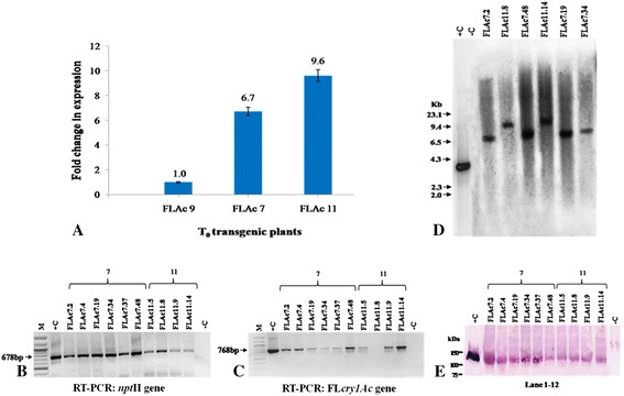 Molecular characterizations of T 0 and T 1 progeny of FlAc7 and FlAc11 transgenic tomato plants. A Comparative real-time PCR analysis of transcript in T 0 Fl cry1Ac transgenic plants showing fold change in expression with respect to FlAc 9 (low expressing transgenic plant taken as reference). Control : non-transgenic control. B , C RT-PCR and cDNA amplification of 678 bp npt II gene and 768 bp Fl cry1Ac gene of T 1 progeny using specific primers. M : 100 bp DNA ladder (NEB, USA). -C : non-transgenic control plant, +C : Fl cry1Ac gene plasmid DNA as positive control. D Southern blot probed with 3,510 bp Bam HI radiolabelled frament of FlCry1Ac gene. E Western immunoblot assay performed with crude leaf protein extract, lane1 purified Cry1Ac toxin protein, lane 12 : untransformed control, lane 2–11 : leaf protein extracts from progeny of T 0 FlAc7 and FlAc11. A protein band of ~130 kDa in transgenic plants showed hybridization with Cry1Ac antibodies, similar to positive control.