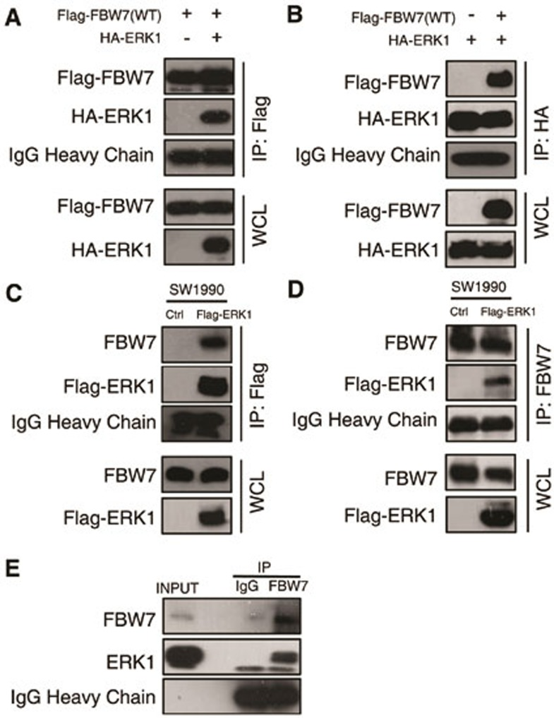 ERK interacts with FBW7. (A , B) Immunoblot (IB) analysis of whole-cell lysates (WCL) and immunoprecipitates (IP) from 293T cells transfected with Flag-WT-FBW7, or HA-ERK1 or together. Thirty hours post-transfection, cells were pretreated with 15 μM <t>MG132</t> for 10 h before harvesting. (C , D) Immunoblot analysis of WCL and immunoprecipitates from the indicated SW1990 cells stably expressing the Flag-ERK1 construct. Cells were pretreated with 15 μM MG132 for 10 h before harvesting. (E) SW1990 cell extracts were immunoprecipitated with an antibody against FBW7 or control IgG and analyzed by immunoblot analysis.