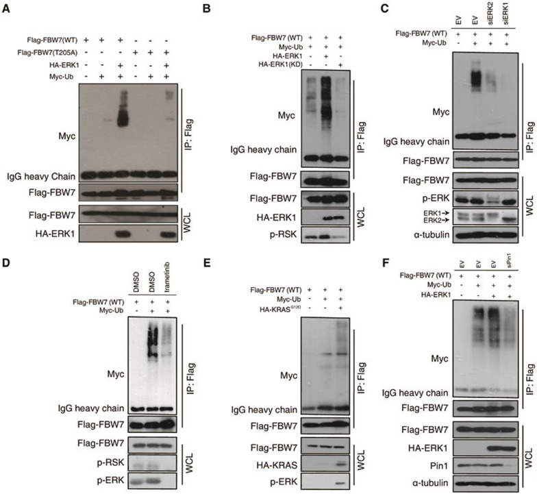 ERK destabilizes FBW7 by promoting its ubiquitination. (A) Immunoblot (IB) analysis of whole-cell lysates (WCL) and anti-Flag immunoprecipitates of 293T cells transfected with HA-ERK1 together with Myc-Ub and various Flag-FBW7 constructs. Thirty hours posttransfection, cells were treated with MG132 overnight before harvest. (B) Immunoblot (IB) analysis of WCL and anti-Flag immunoprecipitates of 293T cells transfected with wild-type HA-ERK1 or kinase-dead (KD) mutant together with Myc-Ub and Flag-WT-FBW7 constructs. Thirty hours posttransfection, cells were treated with MG132 overnight before harvest. (C) Immunoblot analysis of WCL and anti-Flag immunoprecipitates of Hela cells transfected with Flag-WT-FBW7 together with Myc-Ub and siRNA against ERK1/2. Thirty hours posttransfection, cells were treated with MG132 overnight before harvest. (D) Immunoblot analysis of WCL and anti-Flag immunoprecipitates of 293T cells transfected with Flag-WT-FBW7 and Myc-Ub constructs. Thirty hours posttransfection, cells were treated with MG132 and trametinib (where indicated) overnight before harvest. (E) Immunoblot analysis of WCL and anti-Flag immunoprecipitates of 293T cells transfected with HA-KRAS G12D together with Myc-Ub and Flag-WT-FBW7 constructs. Thirty hours posttransfection, cells were treated with MG132 overnight before harvest. (F) Immunoblot analysis of WCL and anti-Flag immunoprecipitates of 293T cells transfected with Flag-WT-FBW7 and HA-ERK1 together with Myc-Ub and siRNA oligos against Pin1. Thirty hours posttransfection, cells were treated with MG132 overnight before harvest.
