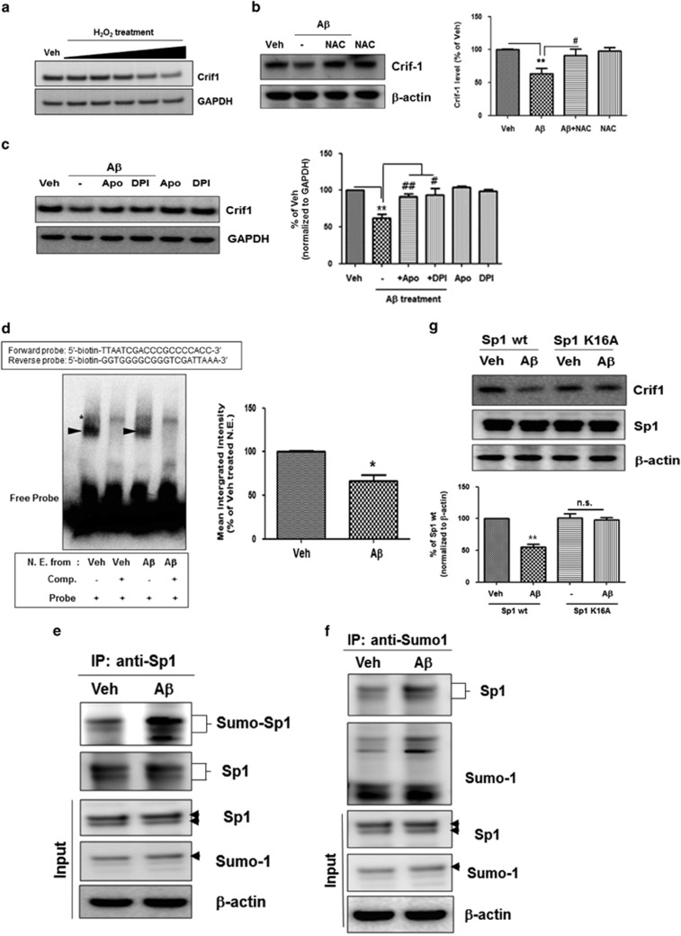 A β -induced ROS decreased the transcription of Crif1 gene by facilitating sumoylation of Sp1. ( a ) Treatment with H 2 O 2 -reduced Crif1 levels. 10–750 μ M of H 2 O 2 were administered for 6 h into SH-SY5Y cells, and then WB was performed to measure Crif1 levels. GAPDH is used as a loading control. Representative images are shown. ( b ) Treatment with a ROS scavenger (NAC; 1 mM) rescued A β -induced Crif1 downregulation. β -Actin is used as a loading control. Representative images are shown. Data are represented as mean±S.E.M. from three independent experiments. ** P