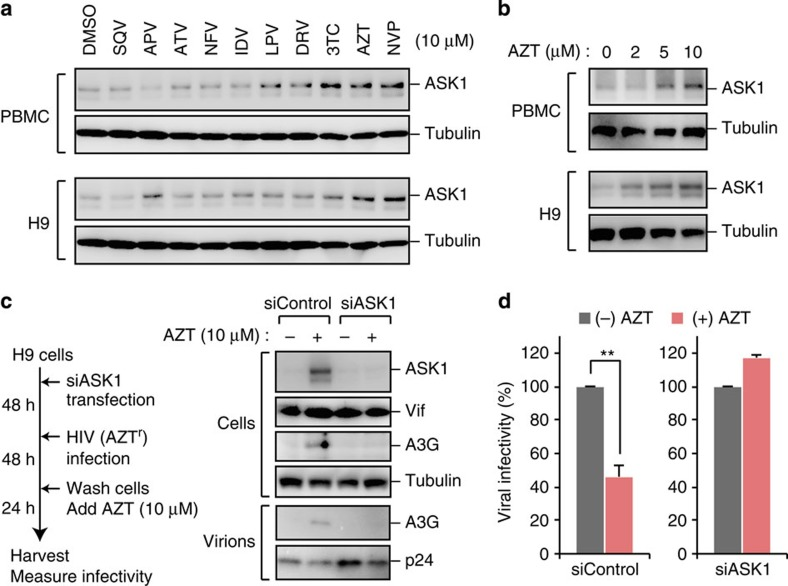 AZT induces ASK1 and promotes the antiviral activity of A3G. ( a , b ) <t>PBMC</t> or <t>H9</t> cells were treated with the indicated agents (0–10 μM) for 24 h. The expression of ASK1 was confirmed by western blotting. APV, amprenavir; ATV, atazanavir; AZT, zidovudine; DRV, darunavir; IDV, indinavir; LPV, lopinavir; NFV, nelfinavir; NVP, nevirapine; SQV, saquinavir; 3TC, lamivudine. ( c ) H9 cells were transfected with control siRNA or ASK1-targeted siRNA for 48 h before infection of HIV-1. At 2 days after infection, cells were washed and additionally cultured for 24 h in the presence or absence of AZT (10 μM). Cells and supernatants were then harvested and analysed by western blotting against the indicated antibodies. We used AZT-resistant virus to avoid the effects of AZT carry-over from the culture supernatant of producer cells during the reverse transcription step in target cells. ( d ) TZM-bl reporter cells were infected with harvested and normalized virus to measure viral infectivity ( n =3, mean±s.d.). Full images for all western blots analysis are shown in Supplementary Fig. 6 .