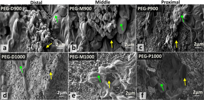 SEM morphology of the broken surface of PEG-impregnated BA scaffolds sintered at 900 and 1000°C derived from three different femoral sections with cells and morphology of the fibroblast cells that adhered to the PEG-treated scaffolds (a – PEG-D900, b – PEG-M900, c – PEG-P900, d – PEG-D1000, e – PEG-M1000, and f – PEG-P1000) after day 7 of AB assay. Attachment of the cell or cell colony (green colured arrow) is found inside the scaffolds and it is very high for PEG-P1000. Sharp edged particles, pores, and cells are indicated by white, yellow, and green coloured arrows, respectively.