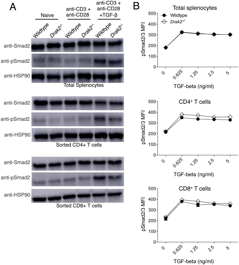 Smad2 and Smad2/3 complex phosphorylation is not enhanced in Drak2-/- T cells compared to wildtype T cells. A) Wildtype and Drak2-/- splenocytes, and FACS sorted naïve CD4 + and CD8 + T cells were stimulated for 2 hours with anti-CD3 and anti-CD28, with or without 2 ng/ml TGF-β for one additional hour. Cells were lysed and analyzed by western blot with antibodies specific for Smad2, phosphorylated Smad2, and HSP90 as a loading control. Cells were pooled from 9 wildtype and 8 Drak2-/- mice. Data are representative of two independent experiments. B) Wildtype and Drak2-/- splenocytes were stimulated for 2 hours with anti-CD3 and anti-CD28 with or without increasing concentrations of TGF-β for one additional hour. The cells were harvested, stained with antibodies specific for CD4, CD8, and pSmad2/3, and analyzed by flow cytometry. The average mean fluorescence intensity (MFI) of pSmad2/3 expression is shown for 3 mice per group. There was no significant difference in the response of the wildtype and Drak2-/- cells according to the Mann-Whitney U -test. Data are representative of 3 independent experiments.