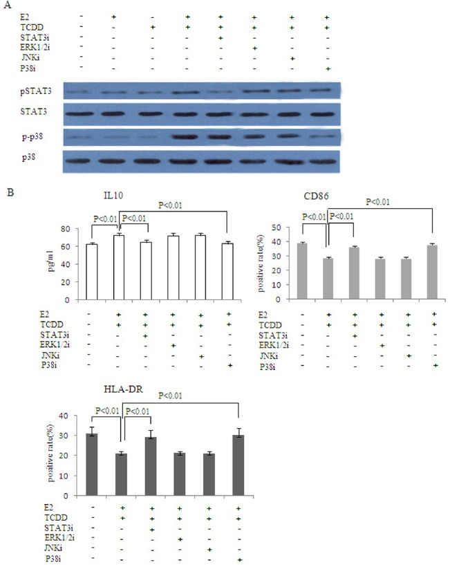 STAT3 and p38MAPK pathway are involved in the combination of 17β-estradiol and TCDD-induced M2 polarization of macrophages. Co-cultured ESC and U937 cells were incubated with <t>20uM</t> STAT3 pathway inhibitor D4071, 20uM <t>ERK1/2</t> pathway inhibitor <t>U0126,</t> 20uM JNK pathway inhibitor SP600125 or 20uM p38MAPK pathway inhibitor SB203580. After 30 minutes, 1nM 17β-estradiol and 1nM TCDD were added to the cells, with PBS serving as the control. 48 hours later, western blot was performed to analyze the levels of the phosphorylated forms and total amounts of STAT3 and P38 in U937 cells(A). IL-10 was measured by ELISA. Surface expression of CD86 and HLA-DR in U937 cells was determined by flow cytometry(B). STAT3i: STAT3 pathway inhibitor; ERK1/2i: ERK1/2 pathway inhibitor; JNKi: JNK pathway inhibitor; P38MAPKi: P38MAPK pathway inhibitor.