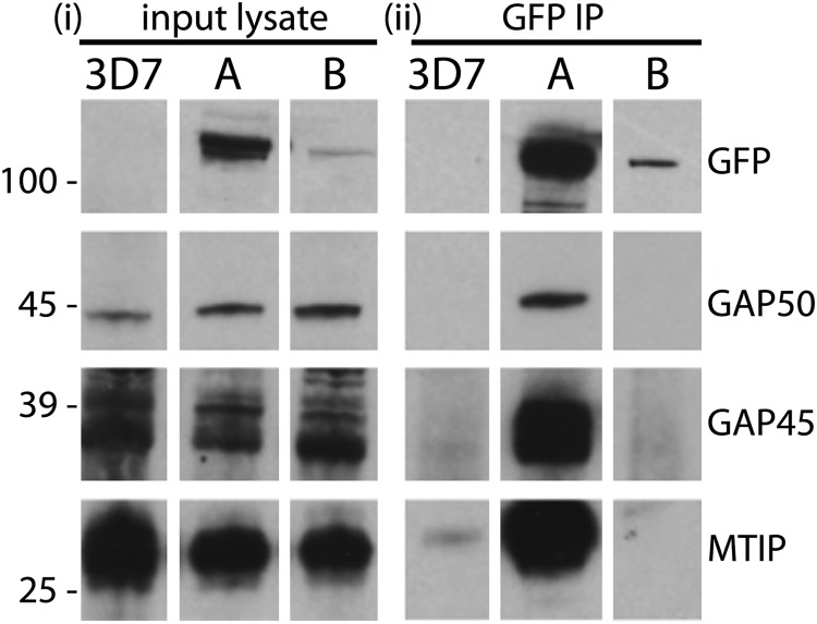 PfMyoB-GFP does not associate with the glideosome components MTIP, GAP45, and GAP50. i, Western blot of parasite lysates from 3D7, MyoA-GFP ( A ), and MyoB-GFP ( B ) parasite lines. ii, GFP-TRAP immunoprecipitates from corresponding parasite lysates (shown in i ) separated by SDS-PAGE and probed with antibodies indicated on the right of each panel (rabbit anti-GFP, anti-GAP50, anti-GAP45, and anti-MTIP). Although GAP50, GAP45, and MTIP were present in all the lysates, they were detected in the MyoA-GFP immunoprecipitate but not in the MyoB-GFP immunoprecipitate. Molecular mass markers are indicated on the left in kDa.