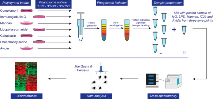 Flow diagram of experimental approach for proteomic analysis. Phagosomes were formed by inoculating murine bone marrow-derived macrophages (BMDMs) with polystyrene beads coated with various ligands for 30 min and a subsequent chase for 0, 30 or 150 min. Cells were homogenized and phagosomes isolated through ultracentrifugation in a sucrose gradient. Phagosomal proteins were extracted, digested, and isotopically labeled (light), whereas a mixed pool of phagosome samples that serve as a control was labeled with heavy isotopes. Combined samples were analyzed by LC-MS/MS on an Orbitrap Velos Pro mass spectrometer, data analysis was performed using MaxQuant and Perseus software suites and bioinformatic and statistical analyses were performed using in-house tools.
