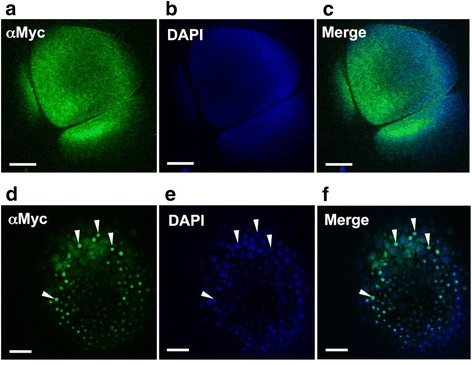 Localization of exogenous Cyclin E in pre-MBT and MBT Xenopus laevis embryos. One cell of 2-cell embryo was microinjected with in vitro transcribed Myc 6− GFP-Cyclin E RNA, collected at indicated time points, and the translated protein detected in fixed and stained embryos. For immunofluorescence analysis of Cyclin E localization, embryos were collected at 4 hpf, pre-MBT (a-c) or at 6 hpf, MBT (d-f). (a, d) Embryos were fixed and stained with an antibody against the Myc 6 tag (αMyc) followed by an Alexa488 conjugated secondary antibody. (b, e) Embryos were counterstained with DAPI to visualize the nuclei. (c, f) . Merged image of the Alexa488 and DAPI. White arrowheads in d-f indicate nuclei. Embryos were viewed with a 10X objective on a Zeiss LSM 510 confocal microscope equipped with a META detector, and analyzed using LSM510 Image Acquisition software. Scale bars are 100 μM. At least 20 embryos were injected in at least 3 separate experiments, with at least 5 embryos fixed per timepoint for analysis.