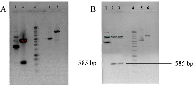 Agarose gel electrophoresis showing the presence of HBcAg VLP in the pUC57 vector and (pET28a/VLP). ( A ) The nucleotide sequence coding for HBcAg VLP from the pUC57 vector. Lane 1: uncut pUC 57 vector containing the HBcAg VLP sequence; Lane 2: pUC57 vector containing the HBcAg VLP sequence digested with NheI and HindIII enzymes; Lane 3: 1-kb DNA ladder; Lane 4: uncut pET28a vector; Lane 5: pET28a vector linearized with NheI and HindIII enzymes; ( B ) Confirmation of the presence of the hybrid HBcAg VLP nucleotide sequence in (pET28a/VLP). Lane 1: uncut (pET28a/VLP); Lanes 2–3: pET28a HBcAg VLP digested with NheI and HindIII enzymes; Lane 4: 1-kb DNA ladder; Lane 5: uncut pET28a vector; Lane 6: pET28a vector with NheI and HindIII enzymes.