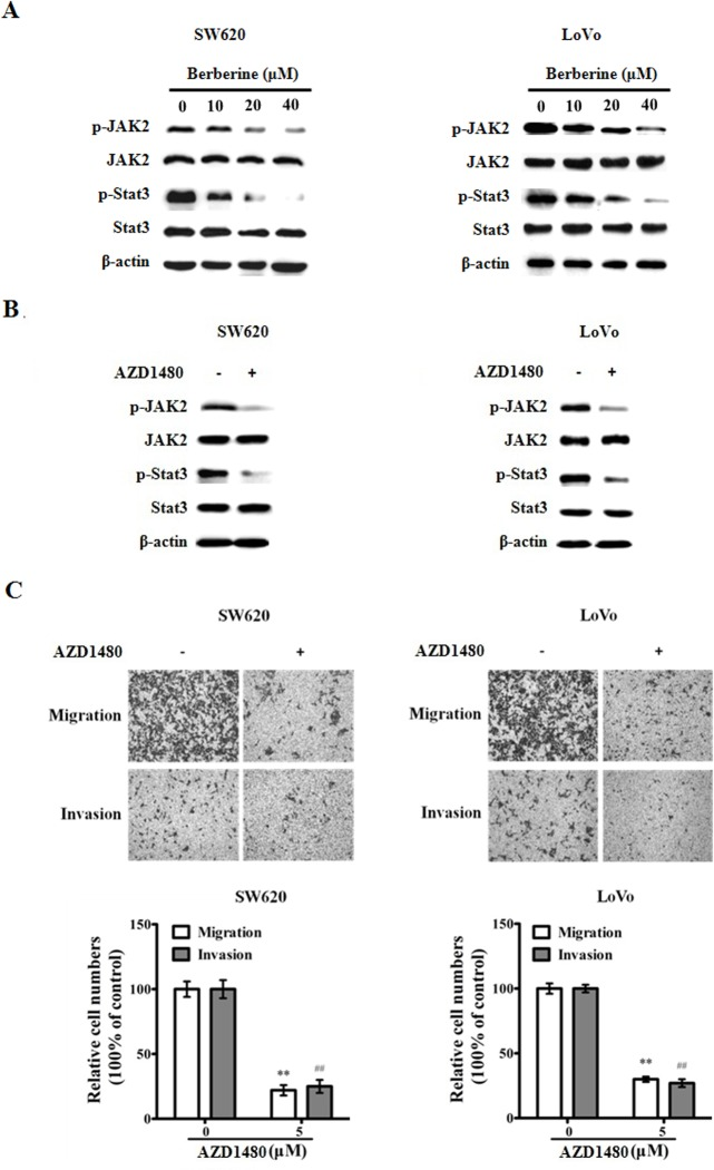Berberin blocks JAK2/STAT3 signaling in CRC cells. A. Extracts from SW620 and LoVo cells treated with berberin at indicated concentrations for 48 h were analyzed for pJAK2, JAK2, pSTAT3, STAT3 and beta-actin (as loading control). B. JAK inhibitor AZD1480 blocks JAK2/STAT3 signaling. Extracts from SW620 and LoVo cells treated with AZD1480 (5 μM) were analyzed for the expression of pJAK2, JAK2, pSTAT3, STAT3 and beta-actin. C. AZD1480 inhibits migration and invasion of CRC cells. The results shown are representative of three independent experiments. The bars and error bars represent the means ± SE, and the P -value was calculated using an independent t -test. ** P
