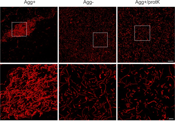 Images of Lb . paracasei subsp. paracasei BGNJ1-64 obtained by confocal microscopy. Agg +— microscopic analysis of cells of auto-aggregation positive strain Lb . paracasei subsp. paracasei BGNJ1-64; Agg - —cells of the aggregation-deficient variant of this strain, not able to form multicellular structures; Agg + /protK—cells of strain BGNJ1-64 treated with proteinase K with loss of ability to form multicellular structures. Higher magnification images are presented on lower panel. Bacteria were stained with hexidium iodide fluorescent dye (excitation maximum of 480 nm and emission maximum of 625 nm). Scale bars are 25 μm for the upper and 5 μm for the lower panel.