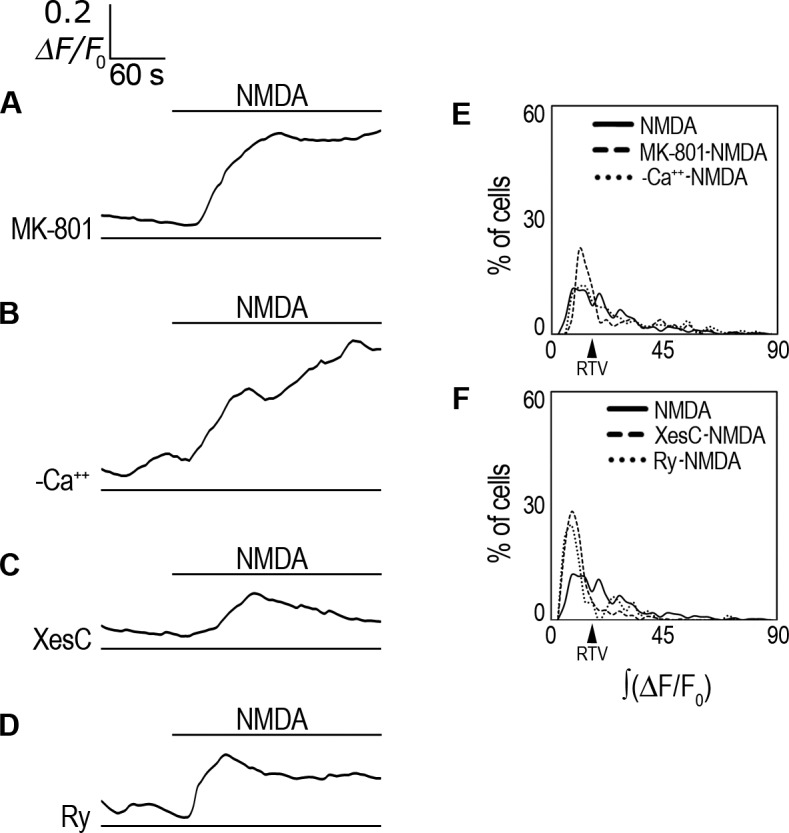 Analysis of i Ca 2+ source. ( A ) ΔF/F 0 averaged response in Fluo-4-AM-labeled rCCA perfused with 1 mM NMDA in the presence of MK-801. ( B ) ΔF/F 0 averaged response in Fluo-4-AM-labeled rCCA perfused with 1 mM NMDA under extracellular Ca 2+ -free conditions. ( C ) ΔF/F 0 averaged response in Fluo-4-AM-labeled rCCA perfused with 1 mM NMDA in the presence of XestosponginC. ( D ) ΔF/F 0 averaged response in Fluo-4-AM-labeled rCCA perfused with 1 mM NMDA in the presence of Ryanodine. Line above traces indicates perfusion with 1 mM NMDA after 120 sec basal recording. Line below (if applicable) indicates the inhibitor used throughout the recording time. ( E ) ∫(ΔF/F 0 ) distribution histogram for cell population responses in MK-801 and extracellular Ca 2+ -free conditions, NMDA distribution is included for comparative purposes. ( F ) ∫(ΔF/F 0 ) distribution histogram for cell population responses in XestosponginC and Ryanodine conditions; the NMDA treated population distribution is included for comparison. The RTV value is indicated by the black arrowhead (see text). Statistical analysis for these distributions with the number of cells and the number of experiments are shown in Table 1 . Representative images from i Ca 2+ responses are shown in S8 Fig .