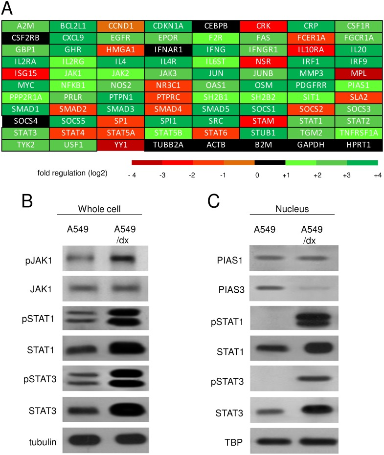 Multidrug resistant cells have a higher activity of JAK/STAT signaling than chemosensitive cells. A. The cDNA from A549 and A549/dx cells was analyzed by a PCR array specific for JAK/STAT signaling, as reported under Materials and methods. The fold regulation of the 83 genes analyzed, expressed in logarithmic scale, is represented in a colorimetric scale. The figure is the mean of 4 experiments. B. The cells were lysed and subjected to the Western blot analysis for phospho(Tyr 1022/1023)-JAK1, JAK1, phospho(Tyr701)-STAT1, STAT1, phospho(Tyr705)-STAT3, STAT3. The β-tubulin expression was used as control of equal protein loading. The figure is representative of 3 experiments with similar results. C. The expression of PIAS1, PIAS3, phospho(Tyr701)-STAT1, STAT1, phospho(Tyr705)-STAT3, STAT3 in nuclear extracts was measured by Western blotting. The TBP expression was used as control of equal protein loading. The figure is representative of 3 experiments with similar results.