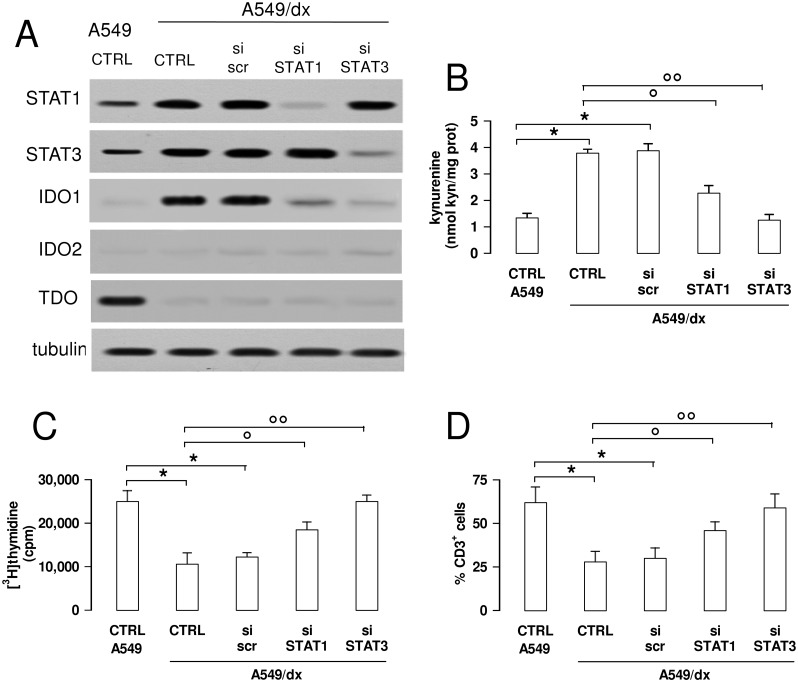 The inhibition of the STAT1/STAT3 signaling reverses the kynurenine-dependent immunosuppression in multidrug resistant cells. A549/dx cells were grown for 48 h in fresh medium (CTRL), treated with a non-targeting scrambled siRNA (scr) or with a specific siRNAs pool targeting STAT1 or STAT3, respectively (si STAT1, si STAT3). Untreated chemosensitive A549 cells were used as control. A . The expression of STAT1, STAT3, IDO1, IDO2 and TDO was measured in whole cell lysates by Western blotting, 48 h after the transfection. The β-tubulin expression was used as control of equal protein loading. The figure is representative of 3 experiments with similar results. B . The kynurenine levels in the cell culture supernatants were measured spectrophotometrically. Data are presented as means ± SD (n = 4). * p