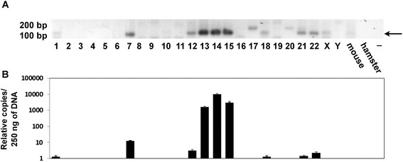Detection of K222 in human chromosomes. (A) K222 was detected by PCR using the set of primers K222F and K222bR in DNA from human/rodent hybrid cell lines, which carry only one specific human chromosome. K222 was found in chromosomes 1, 7, 12, 13, 14, 15, 18, 21, and 22. Other bands (for example the PCR products detected in chromosomes 17, 19, 20, X, and Y) were shown by sequencing to be the result of non-specific PCR amplification. (B) Quantitation of K222 copies by qPCR in human chromosomes. The number of K222 copies was calculated from 250 ng of DNA from human/rodent cells lines. Assuming that human cells have between 8 and 61 K222 copies, then we could estimate that about one copy of K222 is present in chromosomes 1, 18, 21, 22, and perhaps more than one in chromosome 12. Several copies of K222, however, exist in chromosomes 7, 13, 14, and 15.