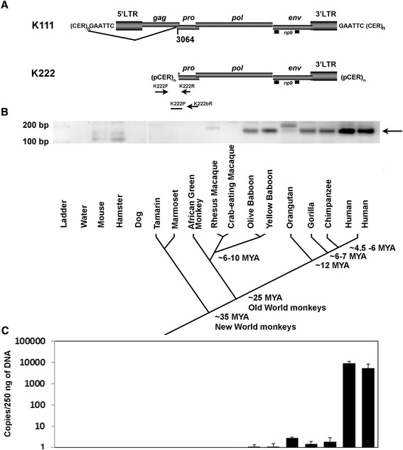 K222 integrated into the primate germline after the divergence of New and Old World monkeys and expanded in copy number during the evolution of humans. (A) Genomic organization of centromeric K111 and K222 proviruses. The positions of the primers used to amplify K222 insertions by PCR and qPCR are indicated by arrows. (B) Detection of K222 from DNA of New and Old-World primates. K222 was detected by PCR with the primers K222F and K222bR in the baboon, orangutan, gorilla, chimpanzee, and human, but not in macaques, African green monkeys, and New World monkeys. Other bands (for example, the PCR products detected in mouse, hamster, and rhesus macaque) were shown by sequencing to be the result of non-specific PCR amplification. A phylogeny of New World monkeys, Old World monkeys, and hominoids (humans and apes) is shown. Estimated times of divergence are shown. MYA: million years ago. (C) Quantitation of K222 copies by qPCR in the genomes of Old World monkeys, humans, and a number of other primates. K222 is likely present as a single copy in the genomes of baboon, orangutan, gorilla and chimpanzee, while present in multiple copies in the human genome. The label of each species in (B) matches to the bars.