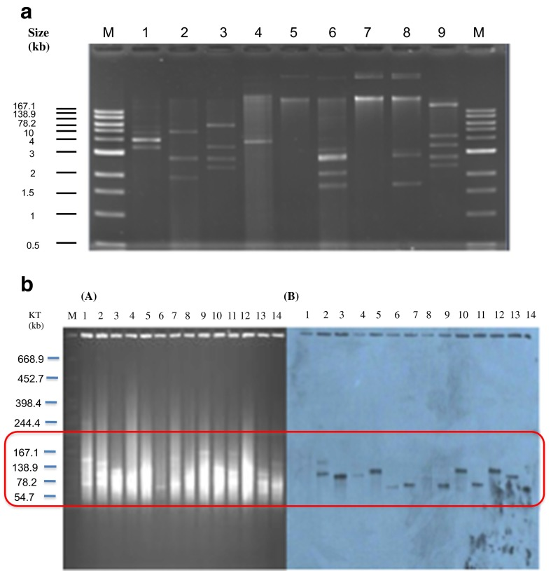 a The differences in plasmid number from a selection of bacteria isolates. Several isolates contained up to eight plasmids b S1-PFGE and Southern blotting of plasmids carrying <t>NDM-1</t> from clinical isolates. Pulsed-field gel of S1-treated plasmid DNA of selected Enterobacteriaceae from clinical isolates stained with ethidium bromide. The molecular weight marker is S. braenderup H9812 cut with <t>XbaI</t> ( A ). Autodiagram of gel A showing plasmids carrying NDM-1 ( B )