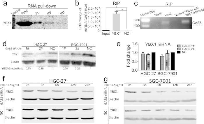 lncRNA GAS5 interacts with the transcriptional activator YBX1. ( a ) Western blot detected the YBX1 in the GAS5 pull-down complex. GAS5-FL was the biotin labeled lncRNA GAS5, NS was the biotin labeled non-sense RNA with similar length to GAS5, NC was the lncRNA GAS5 without biotin label. ( b ) qRT-PCR confirmed that lncRNA GAS5 was accumulated in YBX1-precipatated protein sample. ( c ) The agarose gel electrophoresis graph showed PCR products of RIP. ( d ) YBX1 protein level was decreased with lncRNA GAS5 knock-down. ( e ) The YBX1 mRNA levels were not affected by lncRNA GAS5 knock-down. NC was the negative control sequence for siRNAs. ( f ) and ( g ) lncRNA GAS5 had effect on YBX1 protein turnover under the treatment of CHX at the indicate interval in HGC-27 cells ( f ) and in SGC-7901 cells ( g ). *, p
