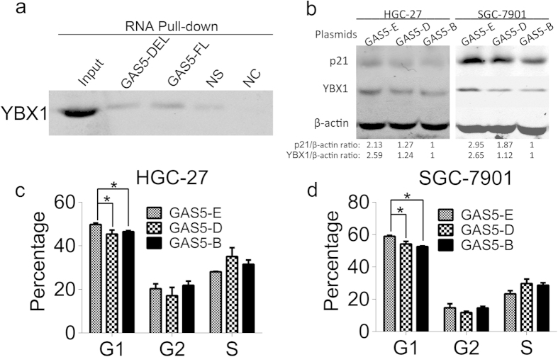 LncRNA GAS5 mutant fails to arrest cell cycle at the G1 phase. ( a ) Western blot detected YBX1 from GAS5-DEL and GAS5-FL RNA pull-down complexes. GAS5-DEL was biotin labeled lncRNA GAS5 mutant with its exon 12 deletion. GAS5-FL was biotin labeled full length lncRNA GAS5. NS was the biotin labeled non-sense RNA with similar length to GAS5, NC was the lncRNA GAS5 without biotin label. ( b ) The protein level of p21 and YBX1 after transfection with GAS5-E, GAS5-D or GAS5-B plasmids. ( c ) and ( d ) The cell cycle alteration after transfecting GAS5-E, GAS5-D or GAS5-B plasmids in HGC-27 ( c ) and in SGC-7901 ( d ). GAS5-E was the lncRNA GAS5 expression plasmid, GAS5-D was the lncRNA GAS5 mutant with its exon 12 deleted plasmid, and GAS5-B was the lncRNA GAS5 blank empty plasmid. *, p