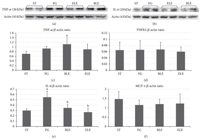 Protein expression levels of inflammatory cytokine and receptor genes determined by Western blotting. IL-6 expression levels are significantly higher in the FG group than in the ST group, and they are significantly lower in the ELE and BLE groups than in the FG group ((b), (e)). TNF- α ((a), (c)), TNFR1 (d), and <t>MCP-1</t> (f) expression levels did not show significant differences among the experimental groups, with the exception of significantly higher TNF- α expression in the BLE group than in the ST group. a Significantly different from the ST group ( P