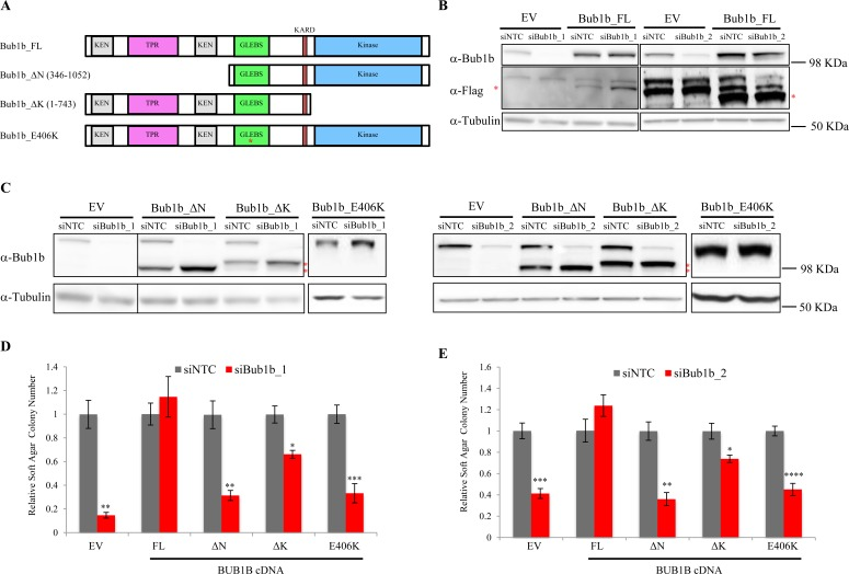 Rescue of anchorage-independent growth in LKPH2 cells with ectopic expression of RNAi-resistant mouse Bub1b cDNAs A. Schematic representation of the mouse Bub1b cDNAs used in this study. Bub1b_FL, full length Bub1b cDNA. Bub1b_∆N, N-terminal truncated Bub1b cDNA. Bub1b_∆K, kinase domain deleted Bub1b cDNA, Bub1b_E406K, full length Bub1b cDNA containing a point mutation (indicated by the red asterisk) in the GLEBS domain that interrupts BUB3 binding and kinetochore localization. The conserved functional motifs are indicated. B and C. BUB1B protein levels in LKPH2 cells stably expressing the indicated cDNAs 72 hours after <t>transfection</t> with siNTC or the indicated siBub1b. Red asterisks indicate the flag-tagged full length (B) or truncated (C) BUB1B. EV: empty vector. D and E. Soft agar colony formation of LKPH2 cells stably expressing the indicated cDNAs transfected with siNTC or the indicated siBub1b. Colony numbers were shown as relative values normalized to siNTC controls. Mean±SEM was calculated from three to five independent experiments. **** indicates p