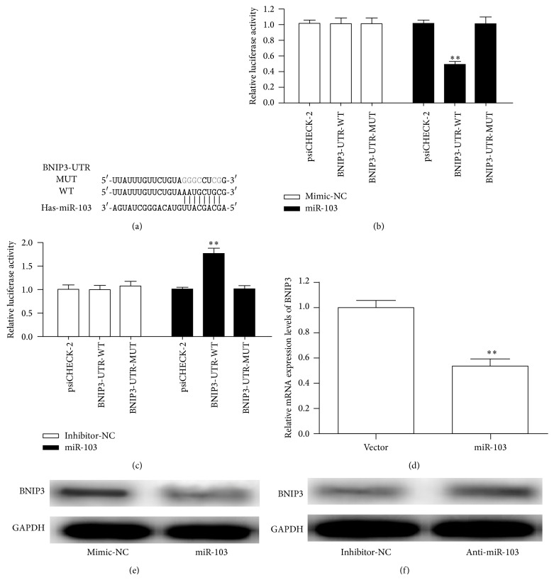 Validation of BNIP3 as a miR-103 target gene. (a) The 3′-UTR of BNIP3 and mutant 3′-UTR sequences that abolished binding. (b) Luciferase activity was assessed in HUVECs transfected with BNIP3 3′-UTR-WT or BNIP3 3′-UTR-MUT and the mimic control or miR-103. (c) Luciferase activity was assessed in HUVECs transfected with BNIP3 3′-UTR-WT or BNIP3 3′-UTR-MUT and the inhibitor control or miR-103 inhibitor. (d) BNIP3 mRNA levels analyzed by qRT-PCR. (e) Western blot analysis of the endogenous expression of BNIP3 upon forced expression of miR-103. (f) The protein expression of BNIP3 in HUVECs transfected with the miR-103 inhibitor or inhibitor control was determined by western blotting. ∗ p