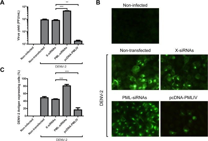 Effect of <t>PML</t> silencing and overexpression on infectious particle production and antigen expression. A549 cells were non-transfected, transfected with <t>X-siRNAs,</t> PML-siRNAs or pcDNA-PMLIV and infected with DENV-2. Non-infected cells were also included as a control (A) At 24 h p.i. viral yields were determined by a standard plaque assay. The reported values are mean ± SD (n = 3). Asterisks indicate a significant difference (*** p