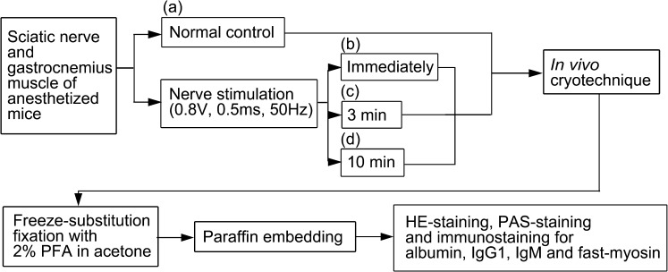 A flow chart showing the experimental design of the present study. Mouse gastrocnemius muscles and sciatic nerves are exposed under anesthesia, and the in vivo cryotechnique (IVCT) is performed for normal mice ( a ) after the organ exposure in vivo . It is also performed immediately ( b ) after the nerve stimulation has started, or at 3 min ( c ) or 10 min ( d ) after the same stimulation. Following the IVCT, the frozen muscle tissues are freeze-substituted in acetone containing 2% paraformaldehyde (PFA) and embedded in paraffin wax. The deparaffinized thin sections are first stained with hematoxylin-eosin (HE) or periodic-acid-Schiff (PAS), and then immunostained for albumin, IgG1, IgM and fast-myosin.