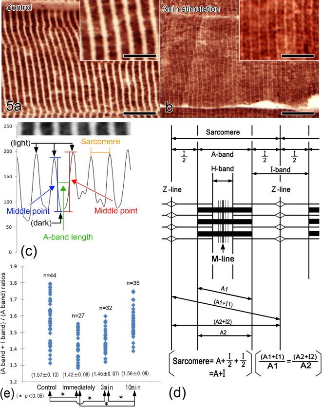( a, b ) Light micrographs of fast-myosin immunostaining in mouse gastrocnemius muscle tissues prepared by IVCT without the nerve stimulation ( a ; control) or at 3 min after the start of stimulation ( b ). The lengths of sarcomeres with or without the nerve stimulation appear to be different between the two groups. Both insets show highly magnified pictures. ( c, d ) The lengths of A band are measured on light micrographs of immunostained fast-myosin, which is needed for calculating the full-width at half-maximum values of each sarcomere. The length of sarcomere is measured as the distance between two adjacent peaks of fast-myosin immunoreactivity. ( e ) Scattered plot diagram of the ratios of (sarcomere length)/(A band length). The numerical values at the bottom show the means and standard deviations, and the asterisks show significant difference (Tukey's multiple comparisons test, p