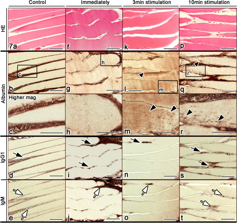 Light micrographs of serial thin sections obtained from the mouse gastrocnemius muscle tissues, prepared by IVCT without the nerve stimulation (control; a–e ), or immediately (immediately; f–j ), 3 min (3 min stimulation; k–o ) or 10 min (10 min stimulation; p–t ) after the continuous nerve stimulation has started. The thin sections are stained with HE ( a, f, k, p ), and immunostained for albumin ( b, g, l, q ) (higher magnifications; c, h, m, r ), immunoglobulin G1 (IgG1; d, i, n, s ) or immunoglobulin M (IgM; e, j, o, t ). Both IgG1 ( d, i, n, s ; black arrows) and IgM ( e, j, o, t ; white arrows) are immunolocalized in the extracellular matrix and blood vessels. In contrast, dot-like albumin immunostaining is observed in the sarcoplasm of contracting muscle fibers with the nerve stimulation ( l, m ; black arrowheads). The albumin immunoreaction products are more clearly detected after the longer nerve stimulation ( q, r ; black arrowheads). Tissue areas marked with rectangles in ( b ), ( g ), ( l ), ( q ) are highly magnified in ( c ), ( h ), ( m ), ( r ) respectively. Bars=50 μm.