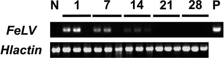 Detection of <t>FeLV</t> gene from the FeLV-inoculated unfed adult ticks by <t>RT-PCR.</t> The tick actin mRNA was detected and amplified as a loading control. The numbers indicate each dpi, and each dpi consists of 3 individual tick samples. N, negative control ticks; P, undiluted FeLV stock solution.