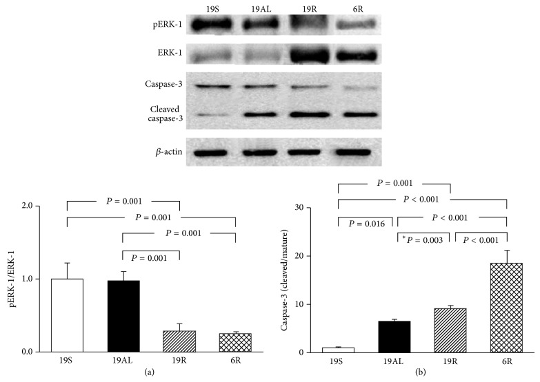 Western blot analyses related to the regulation of cell growth/proliferation and apoptosis in liver tissue. (a) The ratio of pERK-1 to ERK-1. (b) The ratio of cleaved to mature caspase-3. The blots shown are representative of triplicates. Data are presented as means ± SD and were analyzed with one-way ANOVA followed by Tukey's post hoc test unless marked with an asterisk indicating that the unpaired t -test was used. 19S: sham-operated rats fed standard chow ad libitum (protein 19.4, carbohydrate 68.8, and lipid 11.8 kcal%); 19AL: pancreatectomized diabetic rats fed standard chow ad libitum ; 19R: pancreatectomized diabetic rats fed calorie-controlled standard chow to achieve euglycemia during the diet control period; 6R: pancreatectomized diabetic rats fed a calorie-controlled low protein diet (protein 6.0, carbohydrate 82.2, and lipid 11.8 kcal%) to achieve euglycemia during the diet control period.