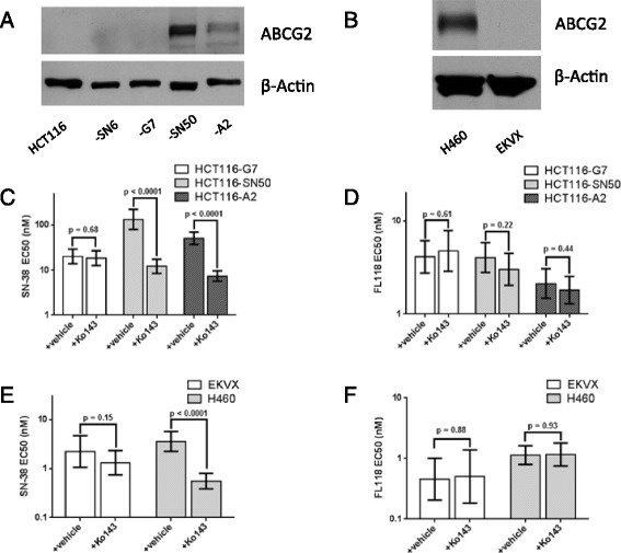 Pharmacological inhibition of ABCG2 modulates the potency of SN-38, but not <t>FL118.</t> A and B , Western blot analysis of ABCG2 protein expression in HCT116 colon cancer cells, drug-resistant HCT116 sub-lines (A) , and H460 and EKVX NSCLC cells (B) . C and E , dose-response curves in the presence and absence of 1 μM Ko143, an ABCG2 inhibitor, after 72 hour treatments in HCT116 sub-lines (C) and NSCLC cell lines (E) . D and F , dose-response curves in the presence and absence of 1 μM Ko143 after 72-hour treatments in HCT116 sub-lines (D) and NSCLC cell lines (F) . Viability for each dose was determined using a ViCELL XR cell viability analyzer and normalized to that of <t>DMSO</t> control. Error bars = SEM, n = 3 independent experiments.