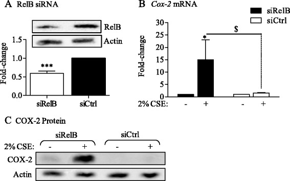 siRNA-mediated knock-down of RelB potentiates CSE-induced Cox-2 mRNA and protein expression in Normal lung fibroblasts. (A) RelB siRNA: Lung fibroblasts derived from Normal subjects were transfected with siRNA against RelB (siRelB). RelB protein levels were decreased by approximately 40% compared to Ctrl-transfected (siCtrl; relative-change: 0.59 ± 0.065). Results are expressed as the mean ± SEM, n = 4 independent experiments . (B) Cox-2 mRNA: Normal fibroblasts transfected with RelB siRNA were exposed to 2% CSE for 6 hours and Cox-2 mRNA expression evaluated by qRT-PCR. There was a significant increase in Cox-2 mRNA expression only when RelB expression is reduced (siRelB; fold-induction 15 ± 8; *p