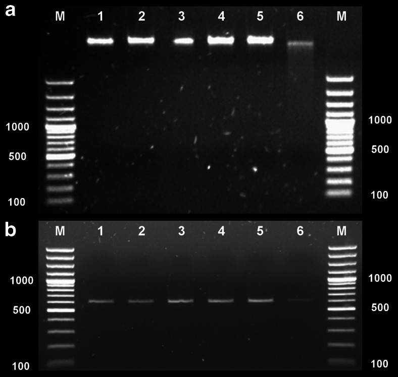 Agarose gel electrophoresis showing genomic DNA and PCR-amplified products of untreated and treated samples. a Genomic DNA damage of S. aureus Newman. b 16S rRNA PCR results. Lane 1 non-treatment control (bacteria kept in dark); 2 APDT-treated bacteria (1 μM fullerene, 160 J/cm 2 of white light); 3 APDT-treated bacteria (10 μM fullerene, 160 J/cm 2 of white light); 4 fullerene-treated bacteria (1 μM, with no illumination); 5 fullerene-treated bacteria (10 μM, with no illumination); 6 TMPyP-treated S. aureus (100 μM and 400 J/cm 2 of 630 nm light)