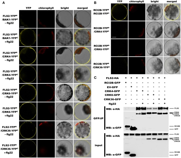 CRK4, CRK6, and CRK36 associate with the PRR FLS2 in a flg22-independent manner. (A) Analysis of associations between FLS2 and CRKs by BiFC assay. Arabidopsis protoplasts were co-transfected with FLS2-YFP N + BAK1-YFP C (positive control) or FLS2-YFP N + CRKs-YFP C plasmids and treated with (+) or without (−) 100 nM flg22 for 20 min. The YFP fluorescence (yellow), chlorophyll autofluorescence (red), bright field and the combined images were visualized under a confocal microscope 16 h after transfection. The scale bar represents 10 μm. (B) Association between RCI2B and CRKs by BiFC assay. Arabidopsis protoplasts were co-transfected with RCI2B-YFP N + RCI2B-YFP C (positive control), or RCI2B-YFP N + CRKs-YFP C plasmids and were observed by confocal microscopy 16 h after transfection. The scale bar represents 10 μm. (C) Analysis of association between FLS2 and CRKs by Co-IP assay. Arabidopsis protoplasts co-expressing RCI2B-GFP + FLS2-HA 3 , pG103 empty vector (EV-GFP) + FLS2-HA 3 , or CRKs-GFP + FLS2-HA 3 constructs were treated with (+) or without (−) 100 nM flg22 for 10 min. Total protein extracts (input) and IP-proteins were detected using immunoblotting with an α-GFP or α-HA antibody. Experiments in (A–C) were repeated three times with similar results.